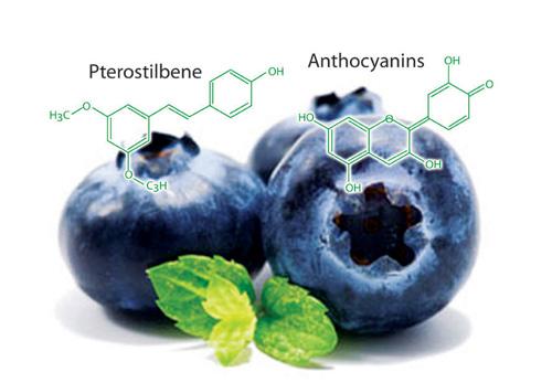 hoạt chất sinh học quý như Anthocyanin và Pterostilbene có trong Blueberry