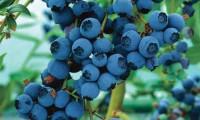 Cải thiện thị lực rõ rệt nhờ quả Blueberry