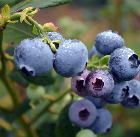 Tinh chất Blueberry là gì? Công dụng của Blueberry