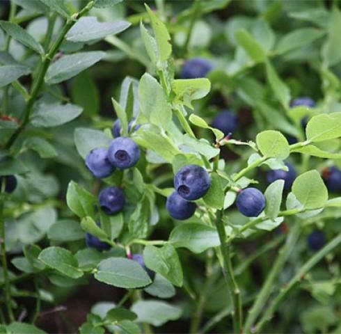 """Blueberry – """"Thần dược"""" cho trí não"""